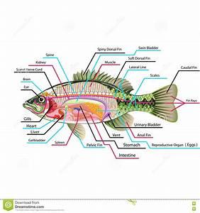 Fish Internal Organs Vector Art Diagram Anatomy With