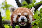 Red Panda Facts, Pictures & Information. The Panda That ...