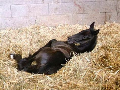 horse foal hickstead born newborn baby hooves foals colt horses birthday