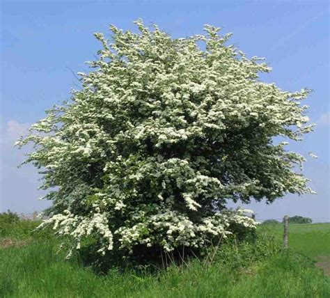 hawthorn tree trees planet crataegus monogyna oneseed hawthorn may