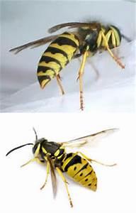 Bees vs Wasps vs Yellow Jackets