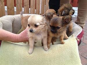 Baby Teacup Chiwawa | www.pixshark.com - Images Galleries ...