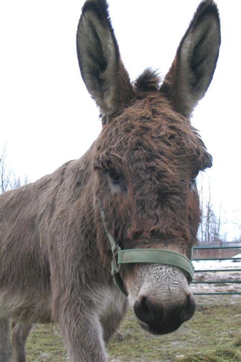 cute donkey  stock photo freeimagescom