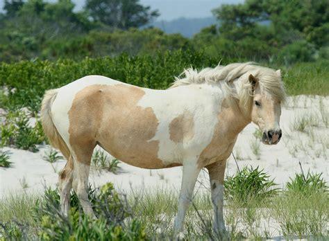pony chincoteague assateague wild wikipedia wiki