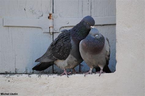 cuisiner du pigeon photos de couples d 39 oiseaux pour la valentin