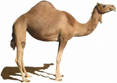 Camel Desert Clipart Dromedary Bactrian Standing Clip