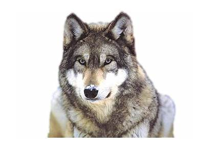 Wolf Snow Transparent Clip Graphic Background Animals