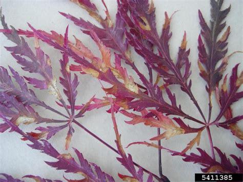 japanese maple leaf spots phyllosticta leaf spot phyllosticta minima on japanese maple acer palmatum 5411385