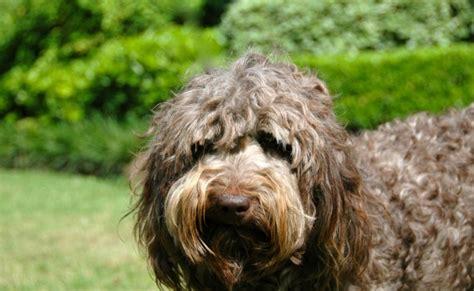 foto de Breeding Dogs Lone Star LabradoodlesLone Star Labradoodles