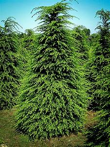 canadian hemlock for sale the tree center