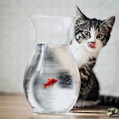 Chat Poisson Rouge Kitten Partager