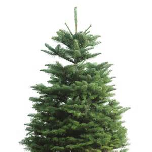 shop 3 5 ft fresh noble fir tree at lowes