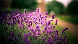 Lavender Flower New Desktop HD Wallpapers | HD Wallapers ...