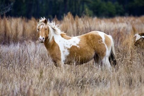 chincoteague pony ponies island assateague islands misty hopping via flickr horses wild winter virginia pro