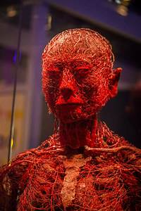 Model Of The Blood Vessels In The Human Body    Pics
