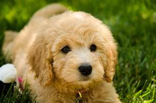 Golden Retriever Poodle Mix Puppies