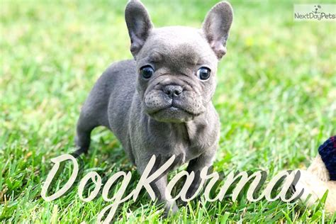 cardi b dog video cardi b french bulldog puppy for sale near los angeles