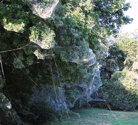 giant spider webs   texas town  spooky case