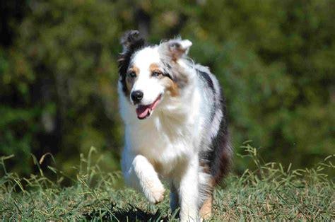 Animal, Running, Australian, Shepherd, Full, Screen