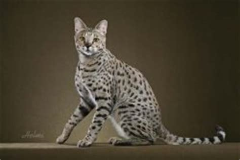Laws On Domestic Cat Breeds Wild Cat Species And Animal