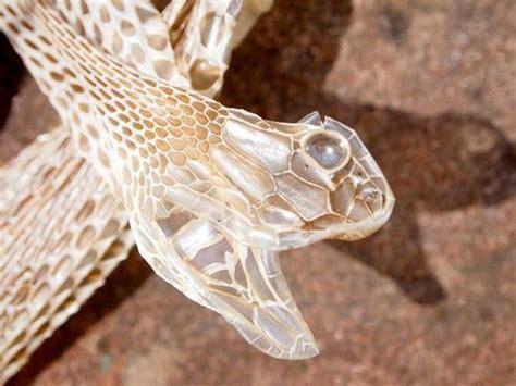 brown snake skin shedding pin by oda mae brown on sssnakes snake skin snake