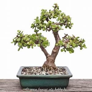 Bonsai Baum Schneiden : jadebaum als bonsai der einzig wahre zimmerbonsai ~ Frokenaadalensverden.com Haus und Dekorationen