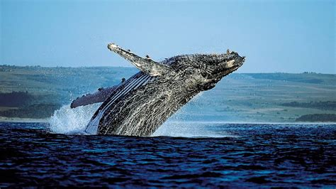 Go Whale Spotting In Samana Bay First Choice