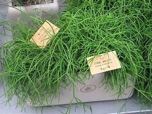Pflanzen Wenig Licht : zimmerpflanzen die wenig licht brauchen rutenkaktus ~ Markanthonyermac.com Haus und Dekorationen