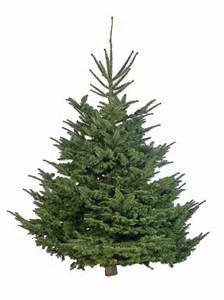 extra large nordman fir christmas tree