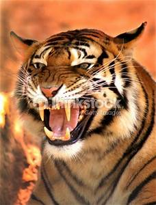 Angry Face Tiger Stock Photo | Thinkstock