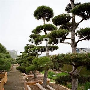 Arbre En Nuage : arbres nuage japonais pour jardin r sistant bonsai geant pinus nigra ~ Melissatoandfro.com Idées de Décoration