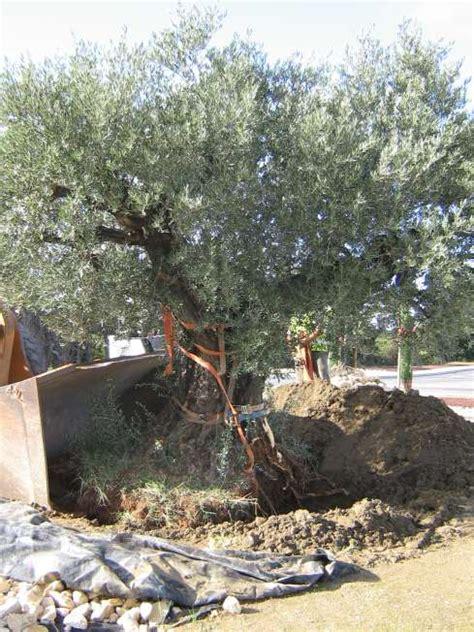engrais olivier en pot engrais pour olivier en pleine terre de conception de maison
