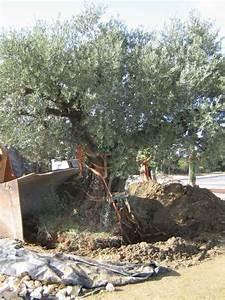 Planter Un Olivier En Pleine Terre : quand planter olivier en pleine terre ~ Farleysfitness.com Idées de Décoration