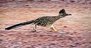 Road Runner  State Bird Of New Mexico  We Had Them In