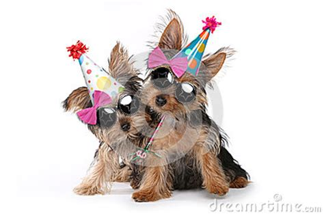 birthday theme yorkshire terrier puppies  white stock