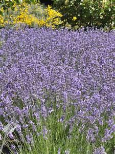 Echter Lavendel Kaufen : lavandula angustifolia 39 munstead 39 echter lavendel g nstig beim stauden spezialisten kaufen ~ Eleganceandgraceweddings.com Haus und Dekorationen