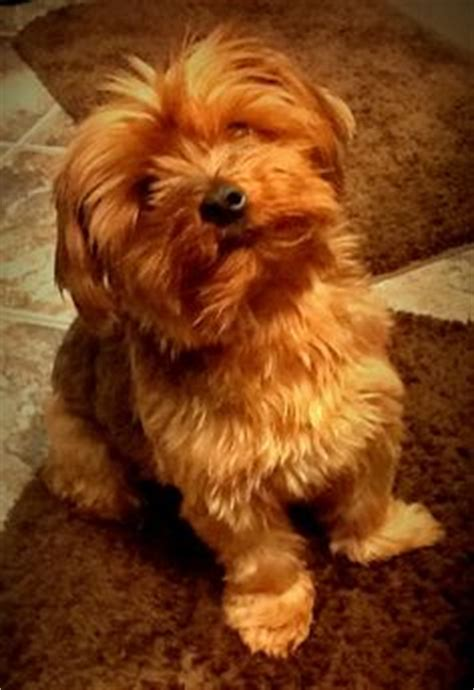 yorkie poo best dogs in the whole world love mine