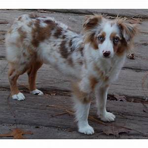 TOY or miniature Australian Shepard... Didn't even know ...