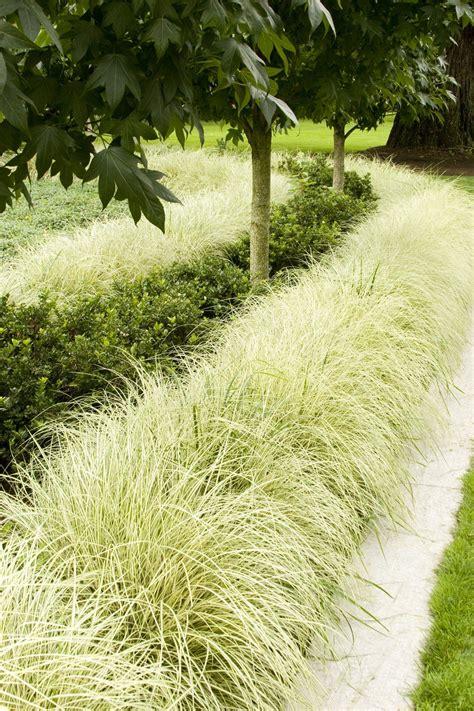 creative  stripes variegated japanese sedge carex morrowii aurea variegata