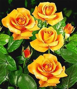 Begleitpflanzen Für Rosen : edelrose maja oetker 1a qualit t kaufen baldur garten ~ Lizthompson.info Haus und Dekorationen