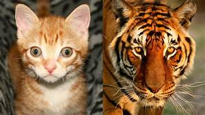 Are Domestic Cats Like Tigers? - YouTube