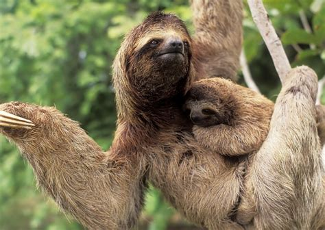 Sloth Images Pictures Of Three Toed Sloths On Animal Picture Society