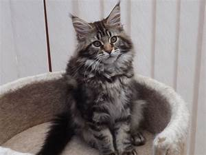 Beautiful Brown Tabby Maine Coon Kitten | Aylesbury ...