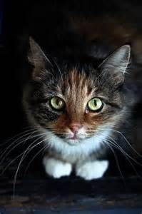 Cat with Pointy Ears Short