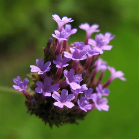Gambar : mekar menanam ungu tinggi herba botani