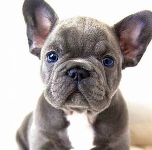French Bulldog @KaufmannsPuppy | baby bulldogs | Pinterest ...