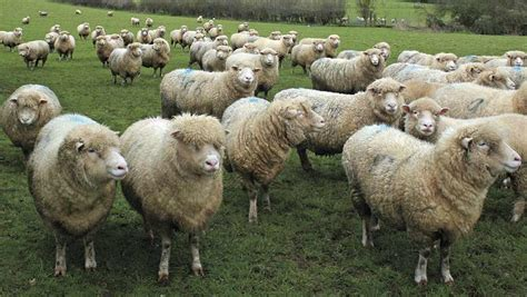 How A Young Breeder Manages 90 Pedigree Ewes And Full-time