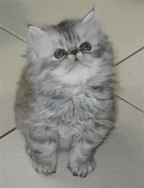 chat persan gris chat persan gris bleu mon regard sur le voyage et la nature