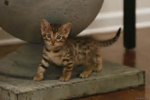 Bengal Cat Kitten