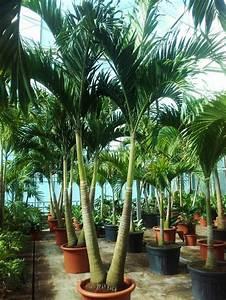 Welche Erde Für Palmen : palmen kaufen online palmenshop tropisch mediterran exotisch 2 12m ~ Watch28wear.com Haus und Dekorationen